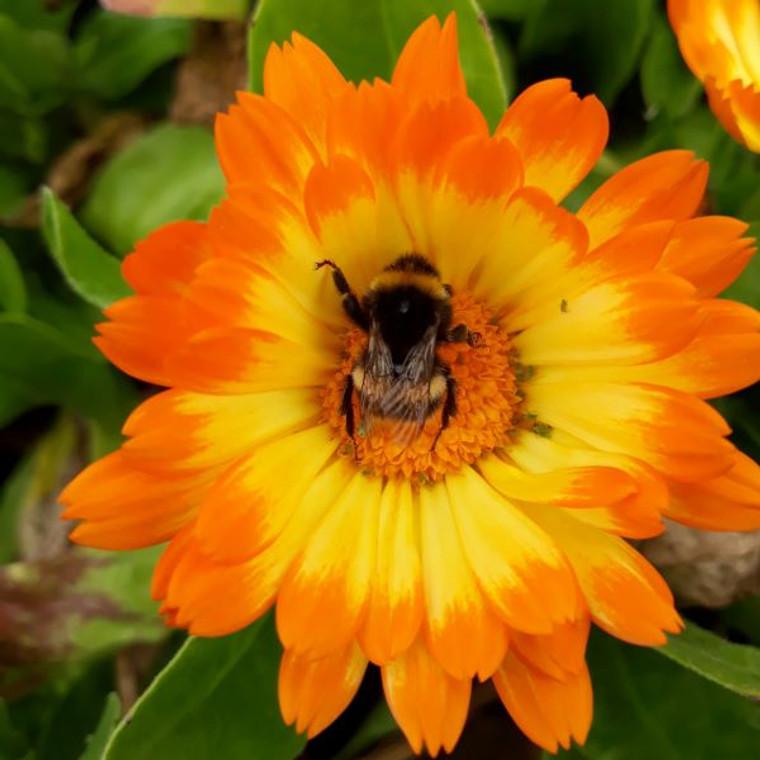 Calendula officinalis 'Oopsy Daisy'(Marigold Pot)  Buy Herb Plant Online