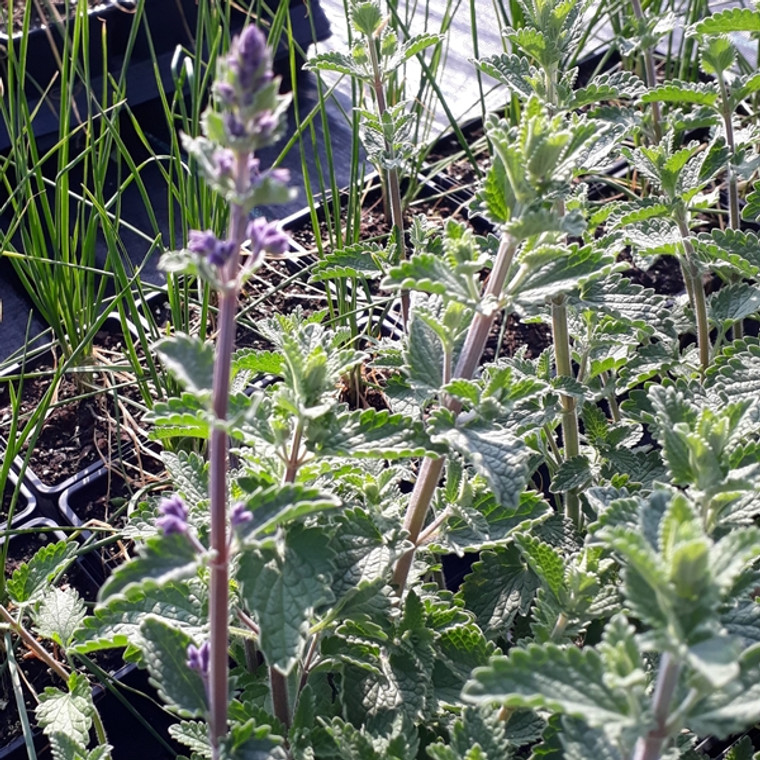 Buy Nepeta 'Walkers Low' (Catmint 'Walkers Low')   Herb Plant for Sale in 1 Litre Pot  