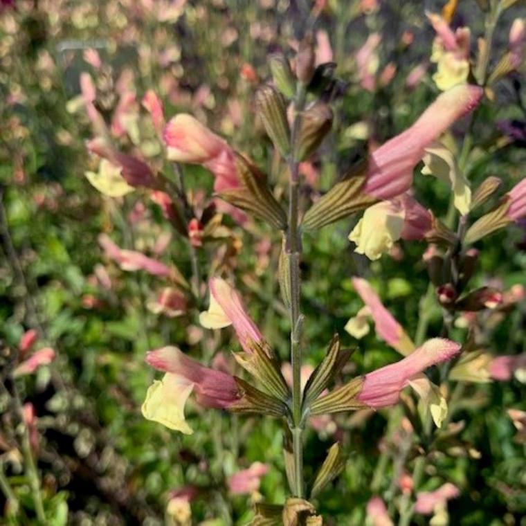 Salvia 'La Mancha' (Sage 'La Mancha') |Herb Plant for sale online in 1 Litre Pot