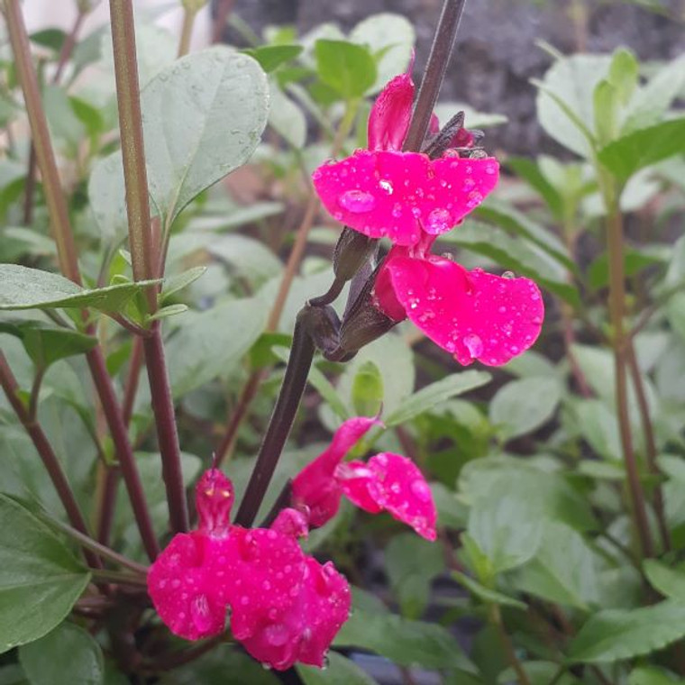 Salvia sp.'Lady Jane' flower close up  Herb Plant for Sale in 1 Litre Pot