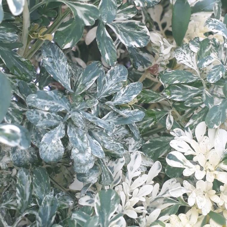 Ruta graveolens Variegata Variegated Rue  Herb Plant for sale online in 1Litre Pot