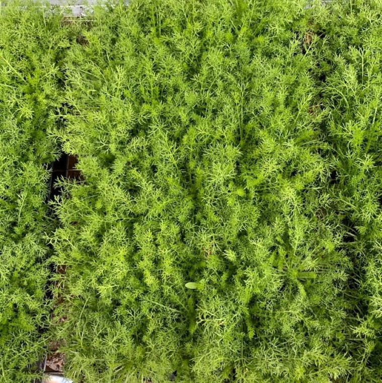 Buy Chamaemelum nobile 'Treneague' Lawn Chamomile | Herb Plugs for Sale 50 in Tray