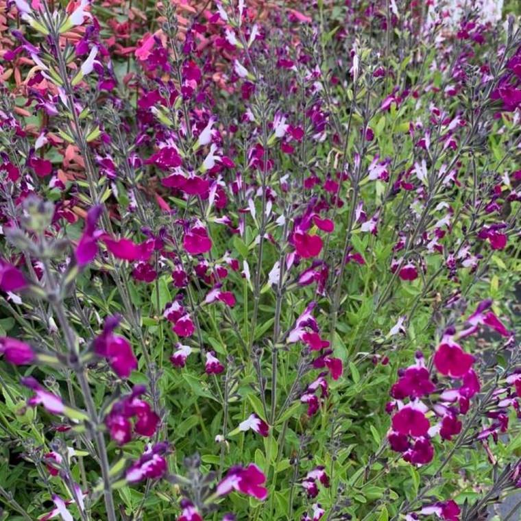 Salvia greggii 'Amethyst Lips' (Amethyst Lips')   Herb Plant for sale