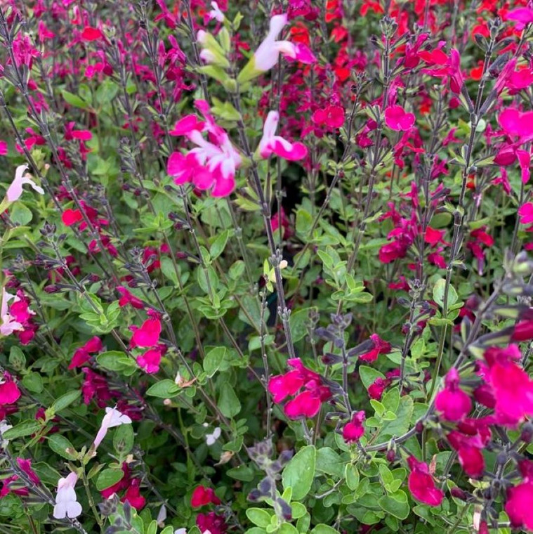 Salvia 'Cherry Lips'    Herb Plant for sale  in 1litre pot