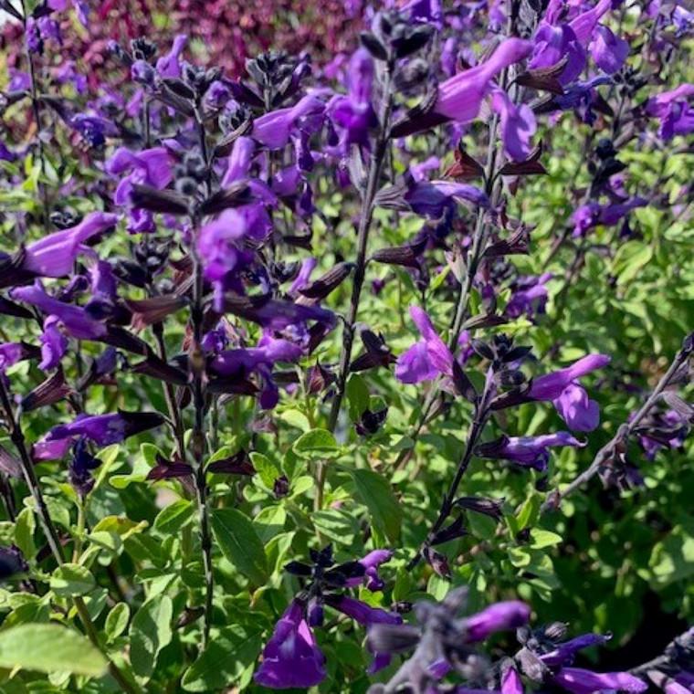 Salvia x jamensis 'Javier' (Sage ''Javier') |Herb Plant