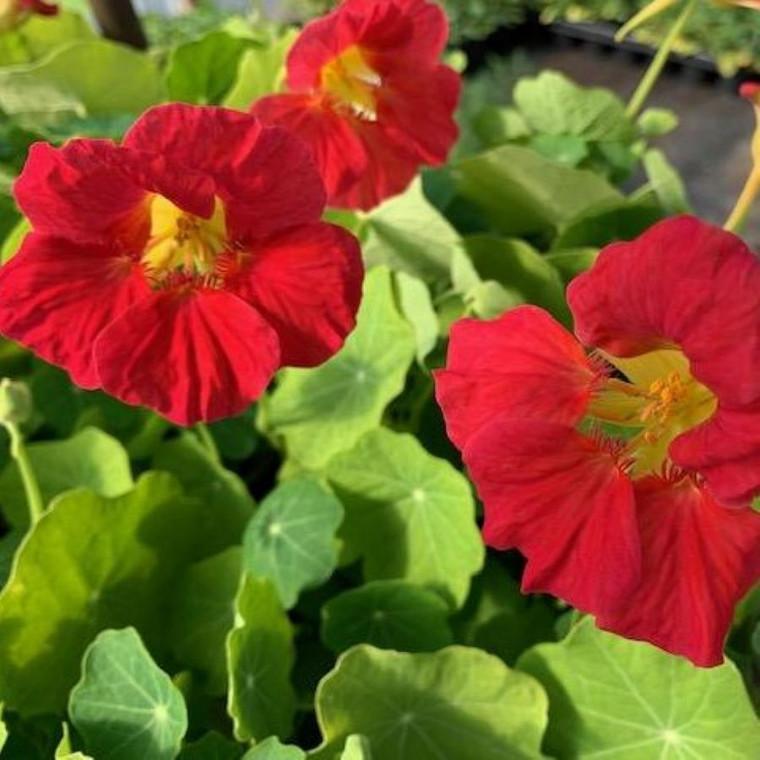Tropaeolum majus 'Cherry Rose Jewel'(Nasturtium 'Cherry Rose Jewel')| Buy Herb Plant