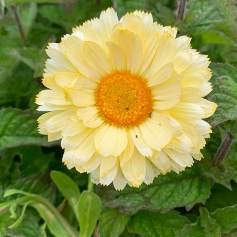 Calendula officinalis 'Snow Princess' Marigold 'Snow Princess'  Herb Plant in 9cm pot