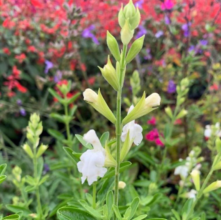 Salvia greggii 'Alba' (Autumn Sage 'Alba')  Herb Plant for sale in 1 Litre pot
