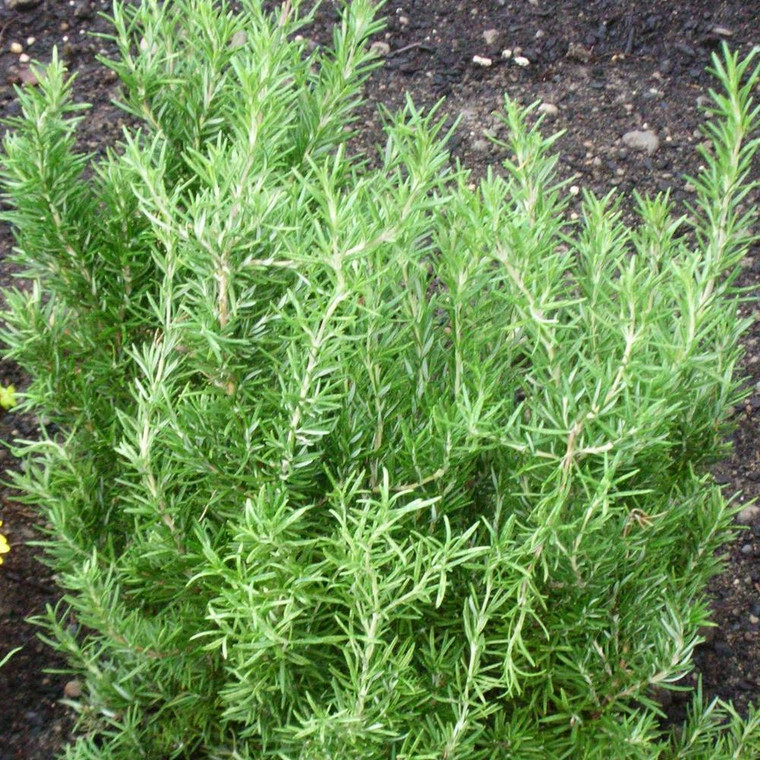 Buy Rosmarinus officinalis 'Miss Jessopp's Upright' Rosemary Miss Jessop's Upright | Herb Plant for Sale in 1 Litre Pot