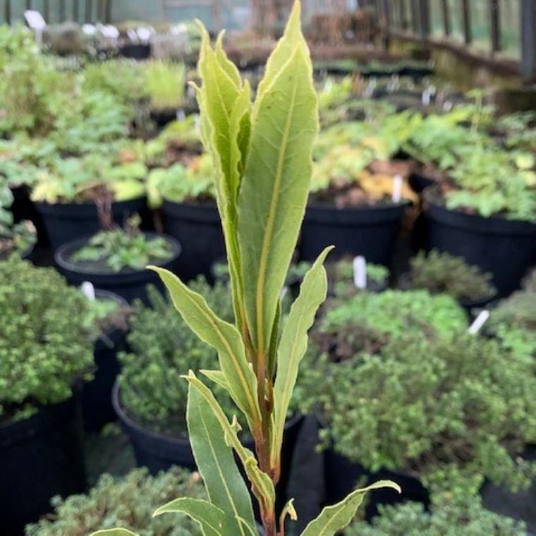 Laurus nobilis f.angustifolia(Narrow-Leaved Bay Tree) Herb Plant