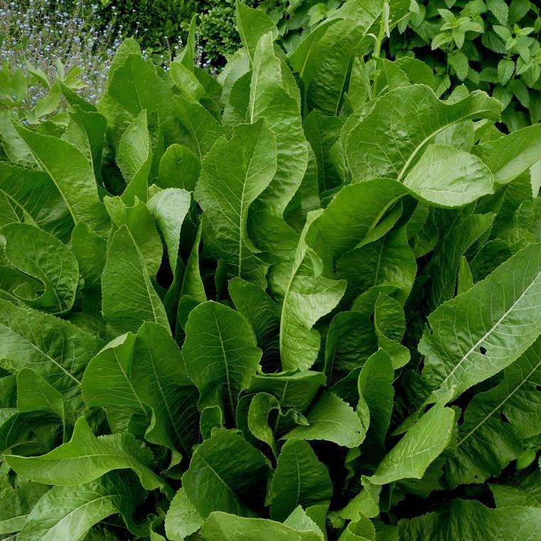 Buy Armoracia rusticana Horseradish   Herb Plant for Sale in 9cm Pot