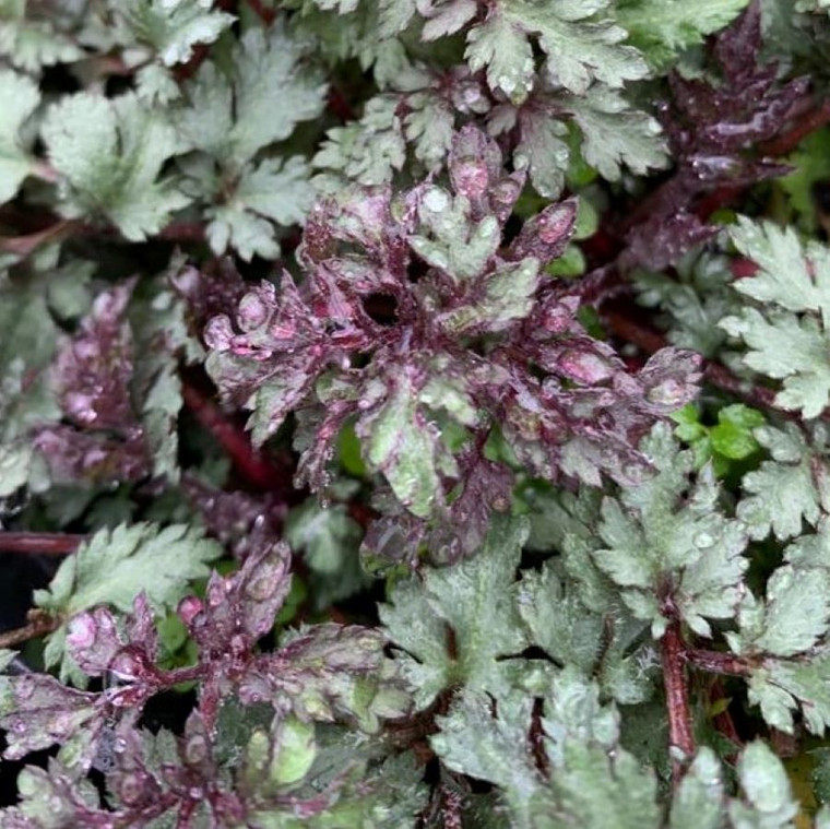 Artemisia vulgaris 'Bronze' (Mugwort Bronze) Herb Plant in 1 Litre Pot
