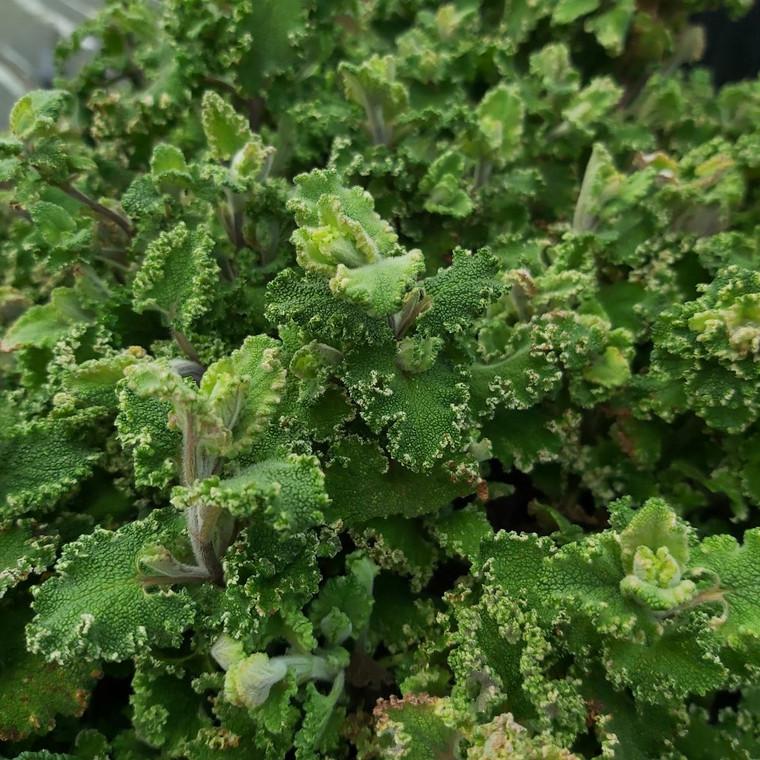 Teucrium scorodonia 'Crispum' (Curly Wood Sage) Herb Plant