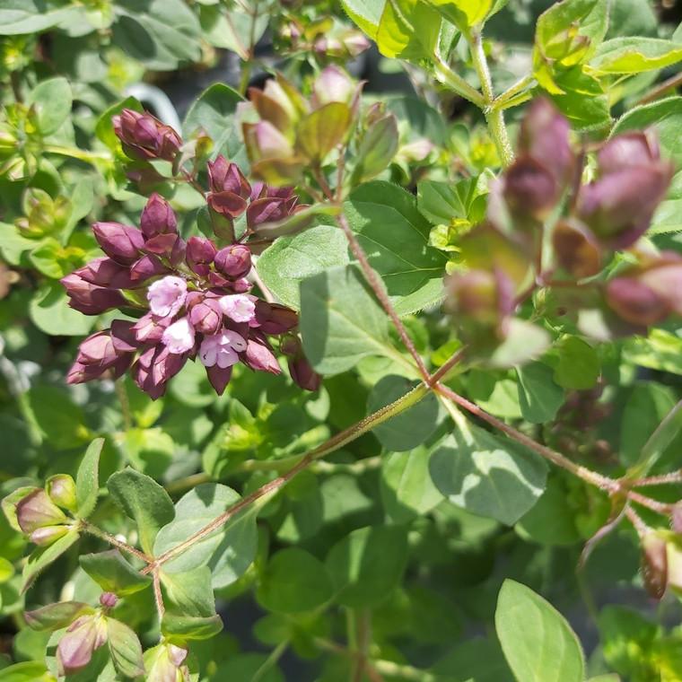 Buy Origanum laevigatum 'Gentle Breeze' Oregano 'Gentle Breeze' | Detail of flower