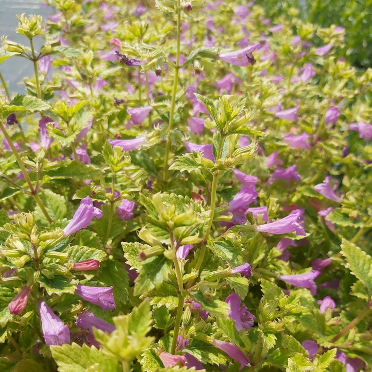 Buy Calamintha grandiflora Calamint  | Herb Plant for Sale in 1 Litre Pot