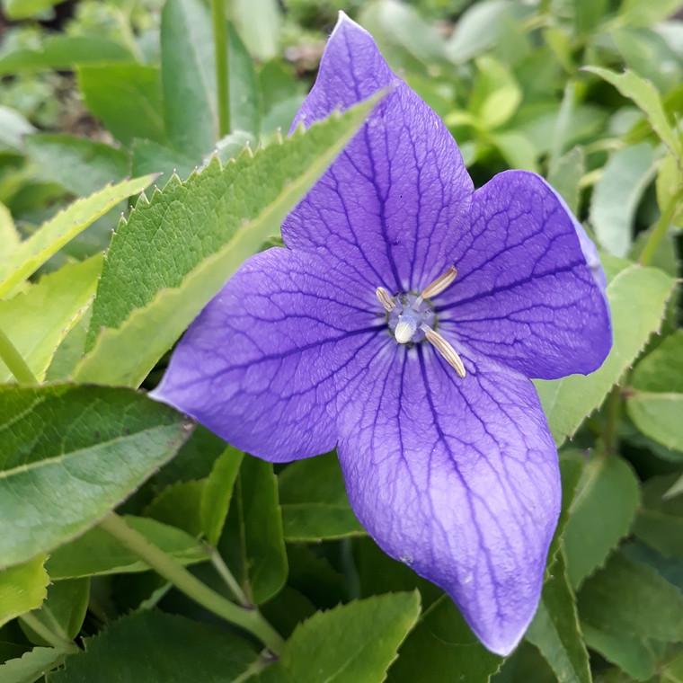 Buy Platycodon grandiflorus(Balloon Flower) | Herb Plant for Sale in 1 Litre Pot