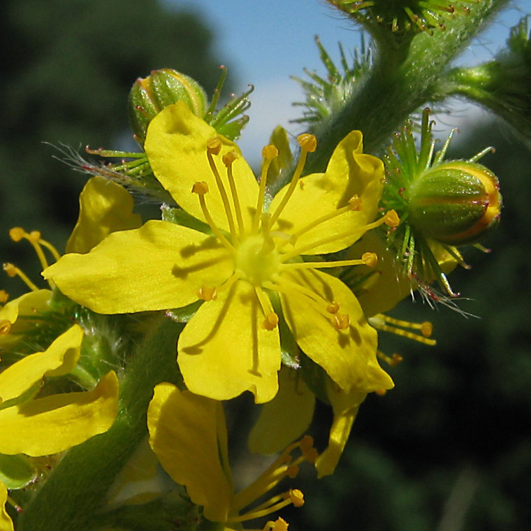 Agrimony yellow flower