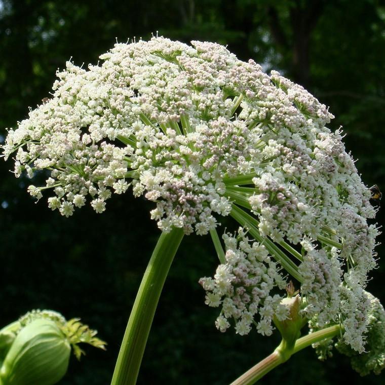 Buy Angelica Archangelic 'Angelica Archangel' | Herbs Seeds from Hooksgreen Herbs