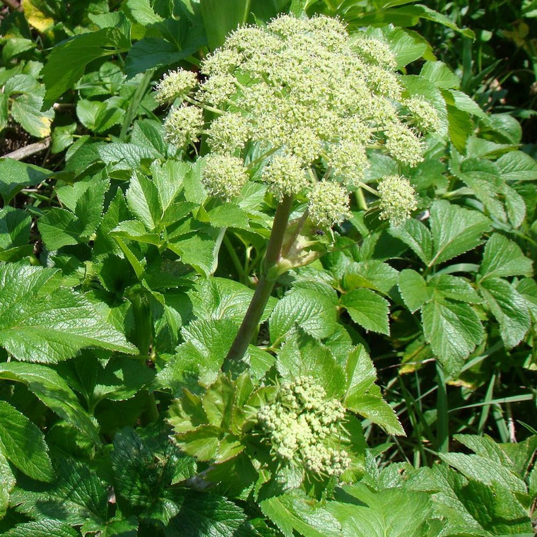 Buy Angelica 'pachycarpa' Spanish Angelica   Herb Plant for Sale in 1 Litre Pot