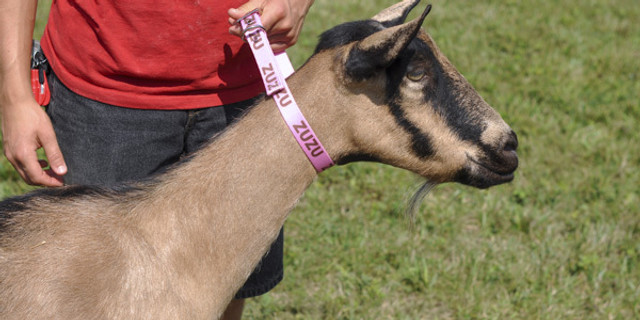 Personalized ID Goat Collars