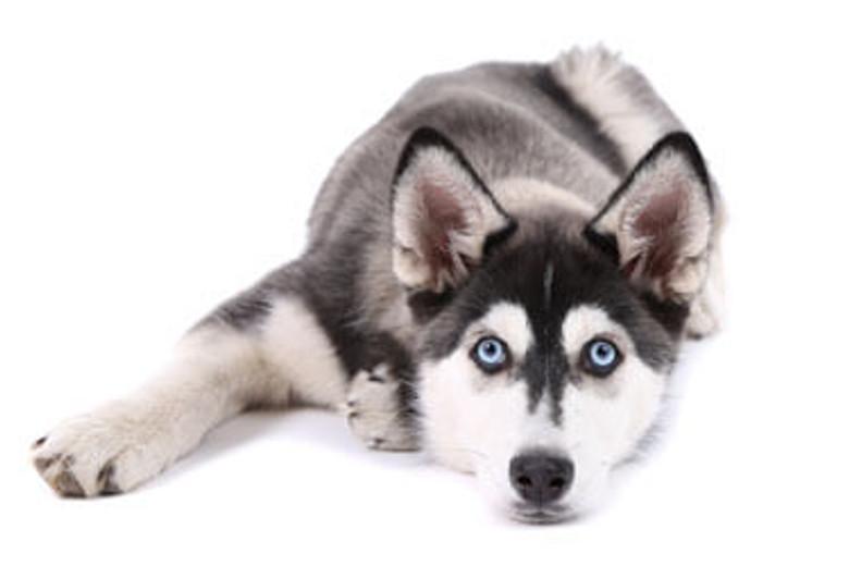 4 Myths About Siberian Huskies