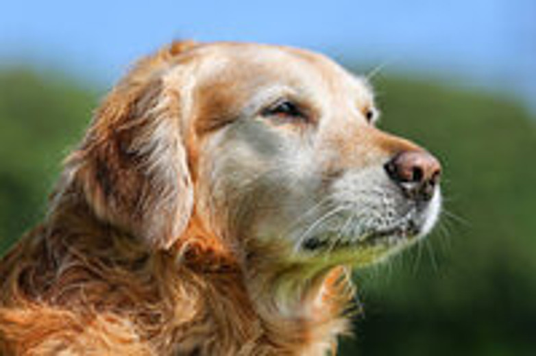 FAQs About Adopting a Senior Dog