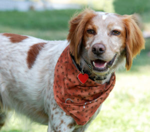 Brittany Spaniel dog, outdoor portrait. Wearing bandana and collar and tag.