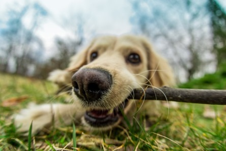 Dog having fun on the grass with a wooden stick