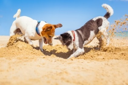 Dogs Digging a Hole in a Dry Soil