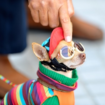 Baby Chihuahua Wearing Doggles, Sitting Under the Sunlight