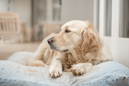 Golden Retriever resting on her pillow after playing