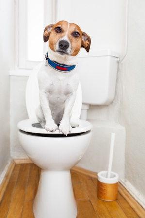 Jack Russell Terrier in a Potty Training