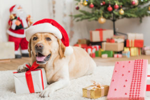A Santa Labrador lying on white carpet floor with Christmas presents and decorated Christmas tree on his background