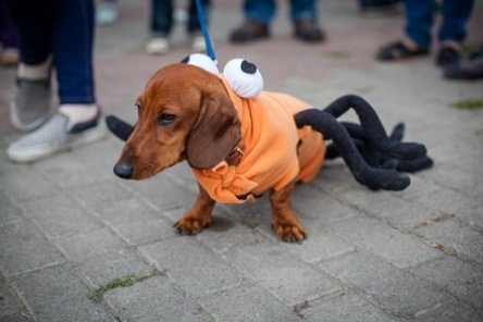 A Dog Walking in the Park With His Spider Costume On
