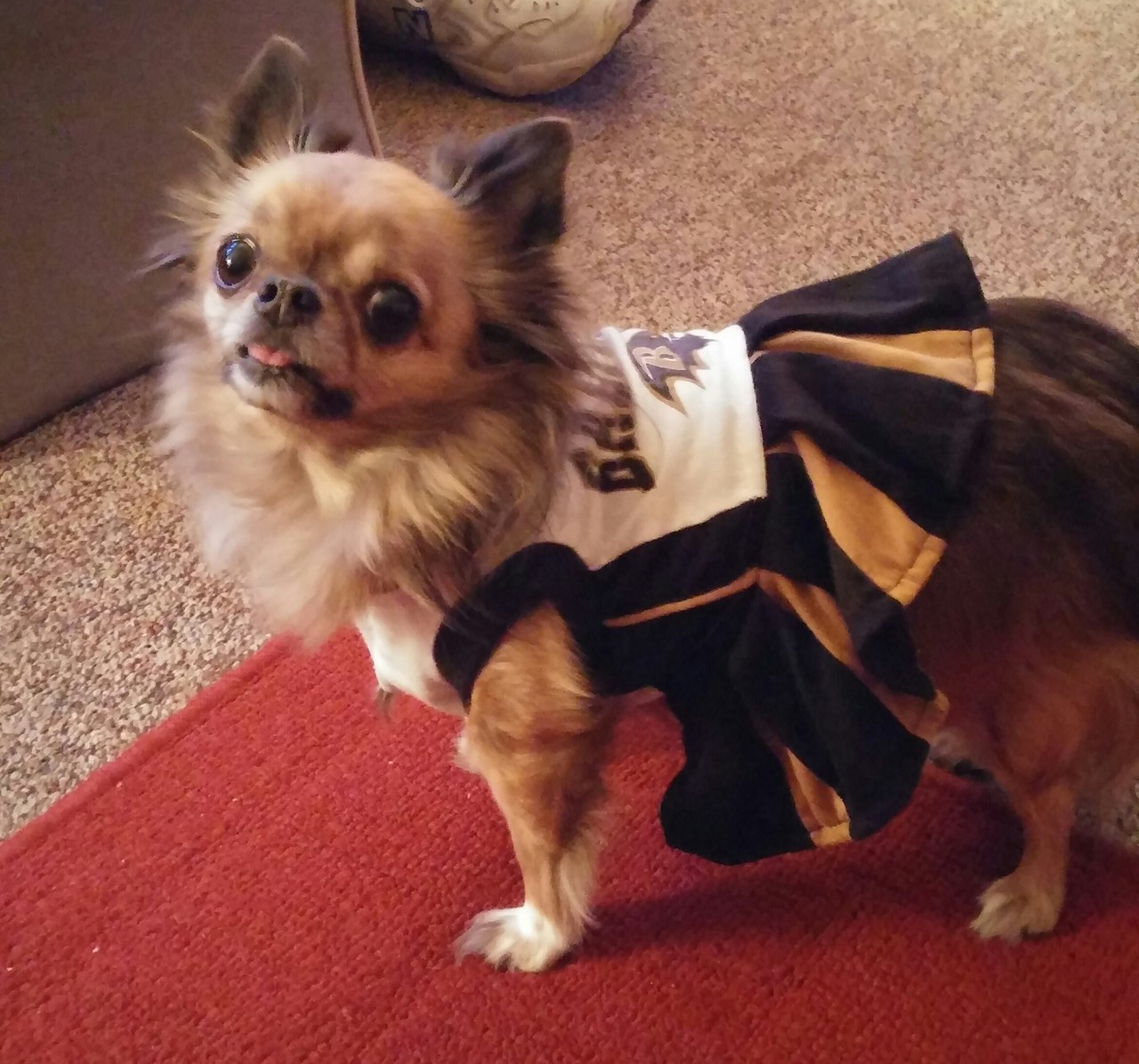 Pets First Collegiate Oregon State University Dog Cheerleader Outfit Small