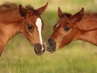Five Basic Steps to Foal Care and Maintenance