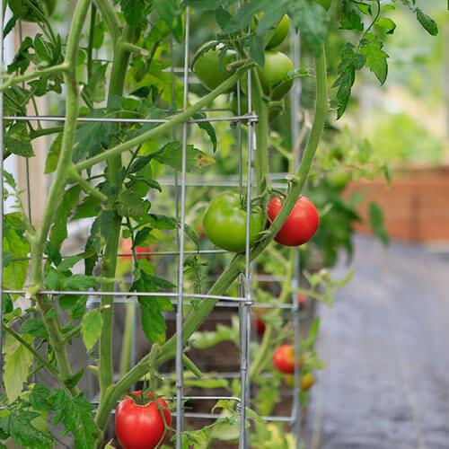 Tomatoes on support