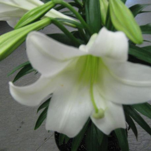 Easter Lily (Classic)