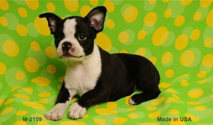 Boston Terrier Wholesale Magnet M-2159