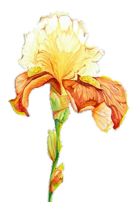 N-933 Yellow Iris