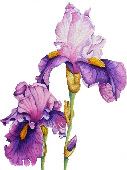 SAC-N-934 Two Purple Iris by Christine Ehmann