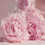 Peony and Blush Suede Fragrance Oil