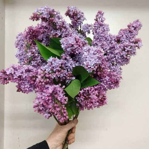 Lilac Flowers (Pick Up At Market Only)