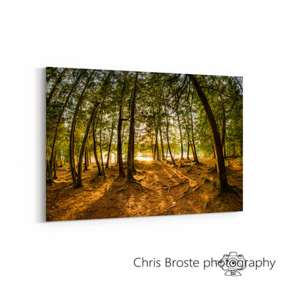 Corner view of a canvas wrap on the wall showing the Boundary Waters forest of northern Minnesota with a warm glow through the trees.