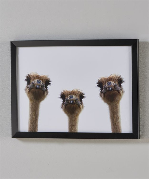 Ostriches Framed Print