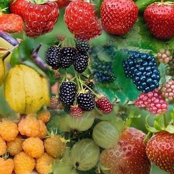 Fruit Bush - 6 plant set