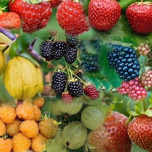 Fruit Bush - 10 plant set
