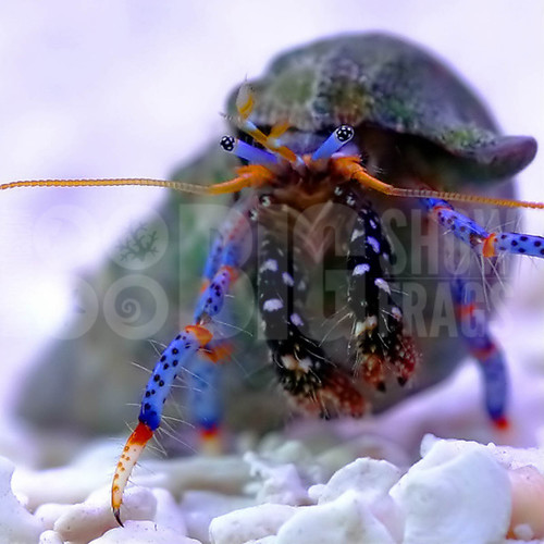 Blue Leg Hermit Crab - Medium