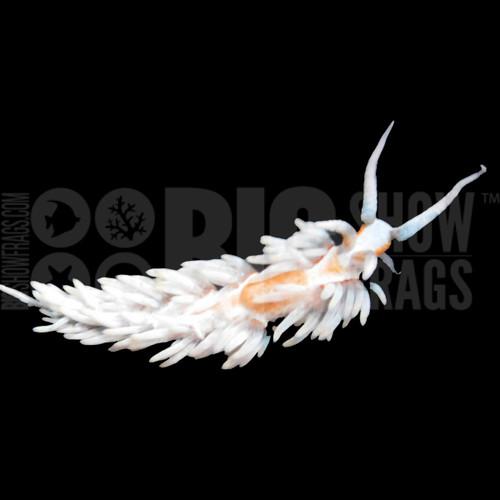 Berghia Nudibranch - Adult