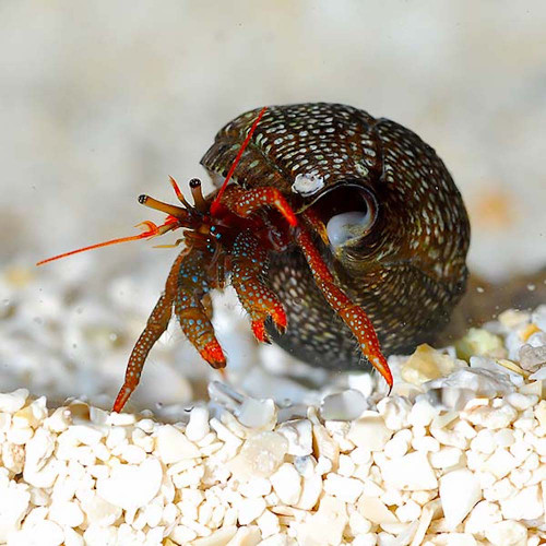 Mexican Red Leg Hermit Crab